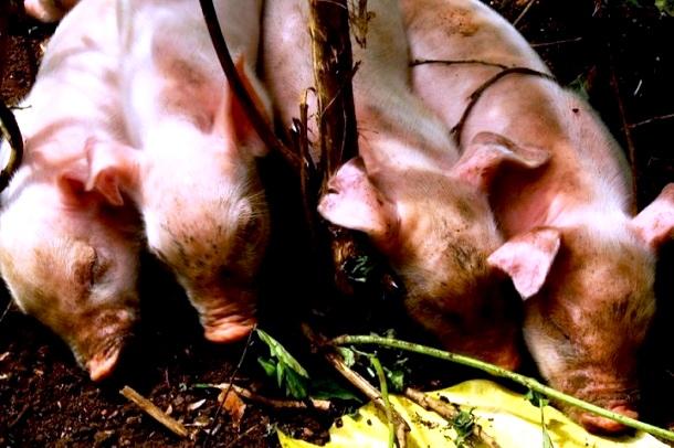 Schweine-Farmarbeit-C-Anja-Knorr