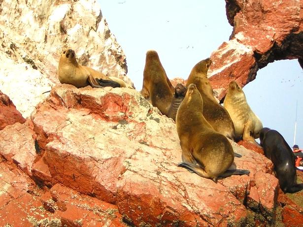 Seelöwen Islas Ballestas Peru (c) Anja Knorr