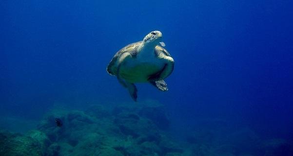 Schildkröte Tauchen (c) Flyover