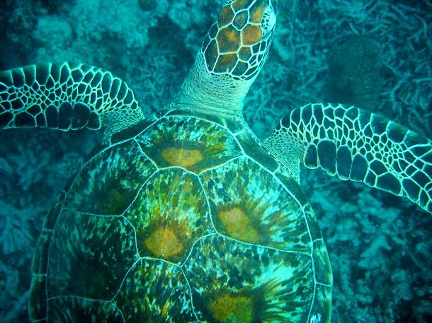 Meeresschildkröte-Great-Barrier-Reef-c-Anja-Knorr