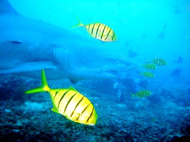 Fiji Hai (c) Anja Knorr