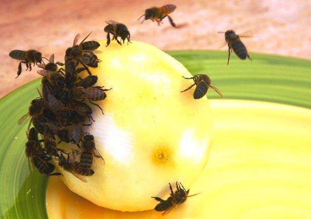 Bienen Zitrone (c) Anja Knorr