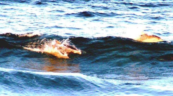 Delfine Meer Wellen c-Anja-Knorr