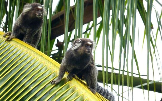 Affen Brasilien (c) Anja Knorr