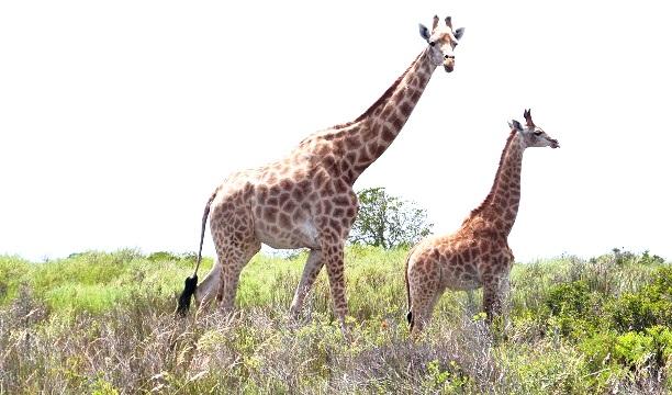 Giraffen Safari (c) Anja Knorr