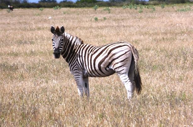 Zebra Safari Südafrika (c) Anja Knorr