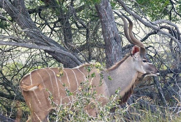Gemsbock Südafrika (c) Anja Knorr