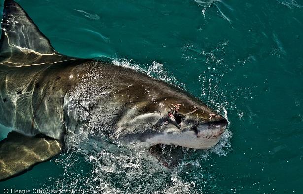 Haifischkäfigtauchen Südafrika (c) Anja Knorr