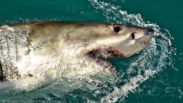 Skark Cage Diving Südafrika (c) Anja Knorr